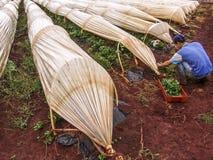 Worker harvesting strawberrie Royalty Free Stock Photo