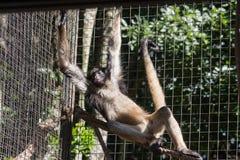 猴子Itatiba圣保罗巴西 库存图片