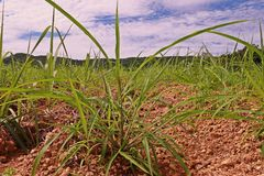Itchgrass, invasive annual grass to agricultural areas Stock Images