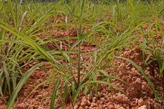 Itchgrass, najeźdźcza roczna trawa rolniczy tereny Fotografia Stock