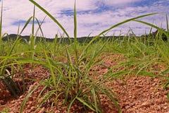 Itchgrass, najeźdźcza roczna trawa rolniczy tereny Obrazy Stock