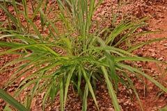 Itchgrass, najeźdźcza roczna trawa rolniczy tereny Obraz Stock