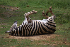 Itching back. A zebra scratching its back Stock Images