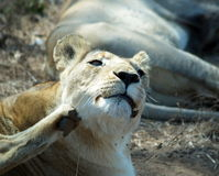 Itching lion. A lion in Hlane, Swaziland Royalty Free Stock Photos