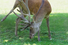 Itching mature male red deer or stag with huge branched antlers Royalty Free Stock Photography
