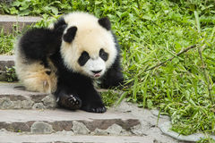 Itchy μωρό Panda Στοκ Εικόνες