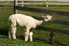 Itchy Alpaca Stock Photo