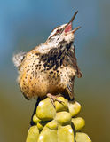 Itchy Cactus Wren Stock Images