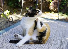 The Itchy Calico Cat. Calico domestic cat outside scratching. Flea allergies. Feline health. Horizontal. Veterinary care royalty free stock image