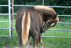 Itchy Colt. Chocolate brown colt with blond flaxen mane and tail, scratching itch with his teeth, in round corral Royalty Free Stock Photos