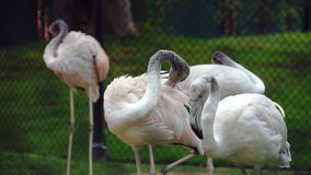 Itchy Flamingos in the Zoo stock footage