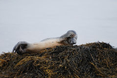 Itchy Harbor Seal Pup Stock Image