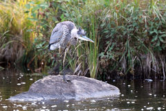 Itchy Heron Stock Image