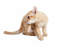 Itchy Kitten Scratching Ears stock images