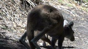 Itchy młody kangur spada puszek w przylądka Le Grand National parku zbiory