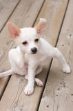 Itchy puppy. Tiny puppy scratching his head Stock Images