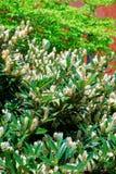 Itea blanc appelé en tant que petit Henry ou Sweetspire Photo stock