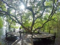 Itinéraires aménagé pour amateurs de la nature, forêt de palétuvier Photo stock