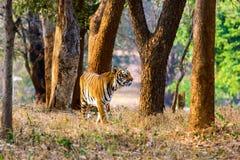 Itinerancia del tigre salvaje Fotografía de archivo