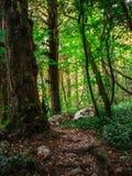 Itinerario turistico popolare nel boschetto del Tasso-legno di bosso nella riserva caucasica di biosfera, distretto di Soci, Russ fotografia stock libera da diritti