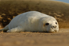 Its all just too hard. A baby grey seal rests at Donna Nook Liconshire Stock Photos