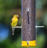 Feeding Goldfinch Royalty Free Stock Photos