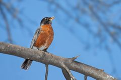 A robin sings while perched on a branch. With its bright orange plumage in full display, a robin sings its cheerful song. A bright blue sky and out of focus royalty free stock photography