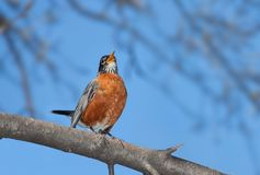 A robin sings into the wide blue open. With its bright orange plumage in full display, tail up and beak wide open, a robin sings it cheerful song. A bright blue royalty free stock images