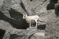 Its a Goats Life royalty free stock images