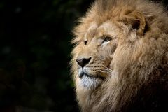 Its lion royalty free stock images
