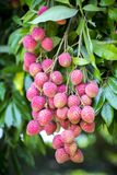 Its lychee picking time at ranisonkoil, thakurgoan, Bangladesh. The Lychee is a fresh small fruit having whitish pulp with fragrant flavor. The fruit is covered stock photo