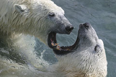 Its mating time again. Mating time with polar bears Stock Photo