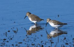 AGUJA COLIPINTA DELTA DEL EBRO. During its migrations it appears in coastal areas of the Peninsula, although it is much more abundant in the Cantabrian-Atlantic royalty free stock photography