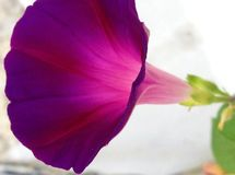 Morning glowry purple. Its a mornig glowry purple flower fully blooming Stock Image