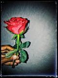 Its my rose Stock Photography