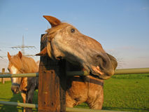 Its neck itches. Horse scratch oneself because its neck itches Stock Photo