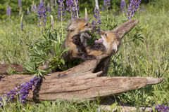Its playtime. Two kit red foxes playing in lupine field Royalty Free Stock Image