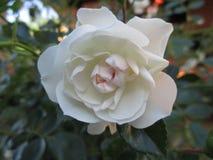 White roses bloom stock image