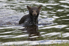 Its Showtime. Baby Black bear cub playing in the water in springtime Stock Image
