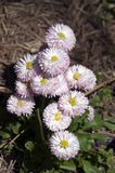 Flowers of strawberries and cream english daisy. Its springtime in the garden, Sydney Australia Stock Photos