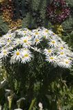 Marguerite daisy display stock photos