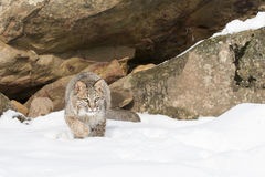 Its time for this bobcat to pounce on prey. Bobcat hunting for prey in the snow Stock Images