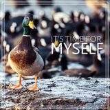 Its time for myself. Wild male Mallard duck. Stock Photos