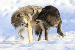 Its on. Tow male wolves fighting govern dominance in pack Royalty Free Stock Images