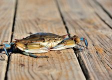 Its whats for Dinner. A large blue crab on the dock Royalty Free Stock Images