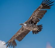 Condor alone in flight on blue sky background in summer show stock images