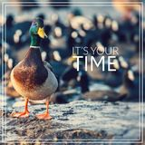 Its your time. Wild male Mallard duck. Stock Images