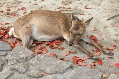 Itsukushima deer Stock Photo