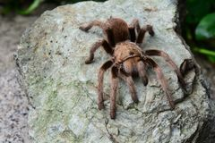 An itsy bitsy tarantula spider on a rock. Royalty Free Stock Photography