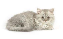 Itten of british longhair breed Stock Photos